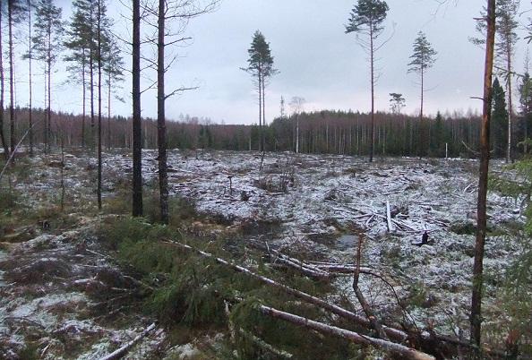 Avohakkuuta Teijon retkeilyalueella. Kuvattu joulukuussa 2011. Kuva: Hannu Paunila.