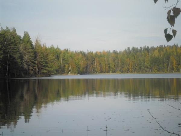 Avohakkuu uhkaa erämaisen, rakentamattoman Kukuljärven metsäistä rantaa puolen kilometrin matkalta. Tässä leimikkoa vastarannalta kuvattuna. Kuva: LK