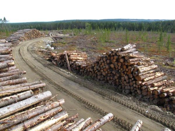 Koskemattoman metsän hakkuita Maksimjärvensalolla syksyllä 2012.