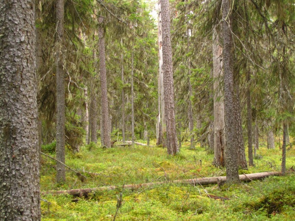 Maksimjärvensalon ikimetsää. Kuva: Tiina Jalkanen