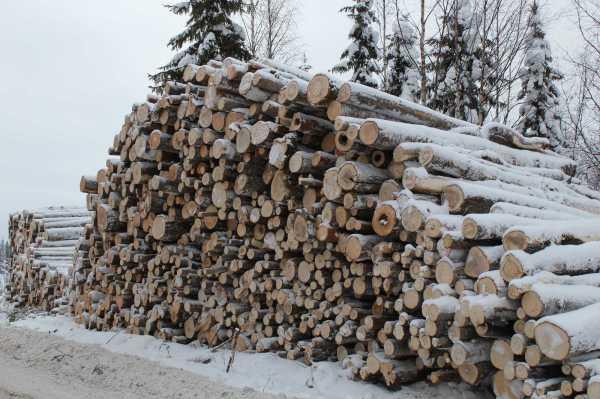 Metsähallitus osaa monimuotoisuuden karsinnan: Suomussalmen Junnojärven rantaleimikosta pinoon päätyi mm. järeitä haapoja.
