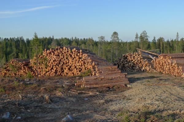 Maksimjärvensalon puupinoja 2012. Kuva: Olli Manninen