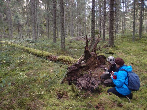 Pihla Salminen (oik.) ja Hanna Jauhiainen kirjaavat aarnisammalen GPS-koordinaatteja Rakovuorilla.
