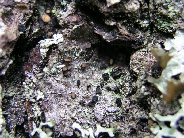 Aarninapun otollisimpia kasvupaikkoja ovat soiden laitamien kitukuusikot, korvet ja muut pienilmastoltaan kosteat vanhoja, mielellään hieman vinoon kasvavia kuusia sisältävät metsät ja suot. Kuva: Olli Manninen
