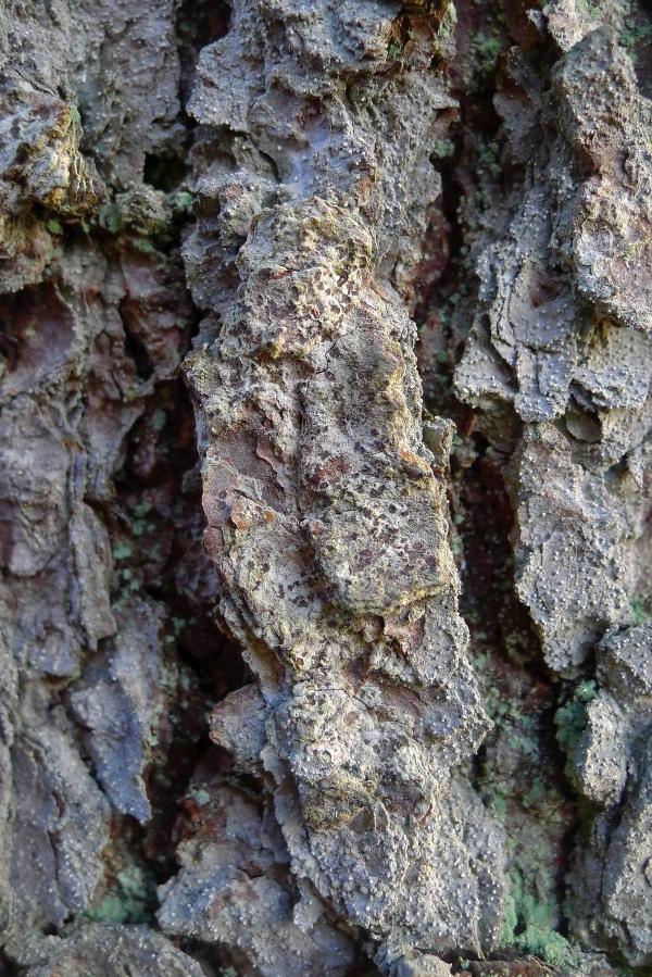 Kuusenpiilojäkälä on erinomainen arvokkaiden vanhapuustoisten korpien indikaattori. Kuva: Olli Manninen