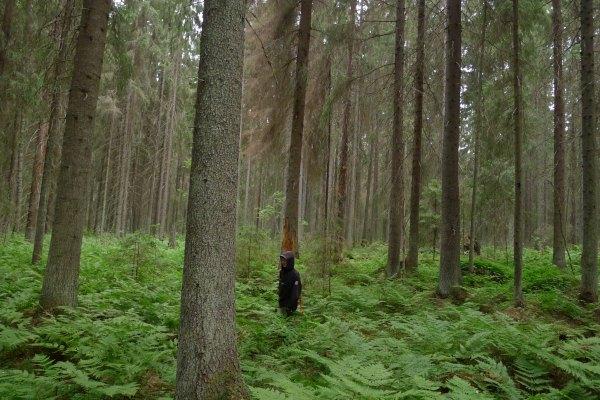 Luonto-Liiton metsäryhmän kartoittajat löysivät kuusenpiilojäkälää UPM:n omistamasta Viilijaakonkorvesta. Korpi on osa Sammalisenvuorten aluetta, jonka suojelua luontojärjestöt ovat esittäneet jo vuonna 2008. Kuva: Olli Manninen