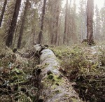 Koivumaapuuta Betlehemin metsässä