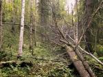 Niinivaara-Munakukkuloiden lähteikköön kaatunut suurihaapa
