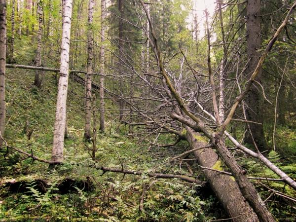 Niinivaara-Munakukkuloiden lähteikköön kaatunut suuri haapa.