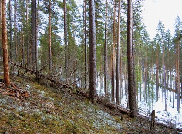 Paiholan metsän yleisilmettä.