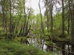 Paskolahteen metsää