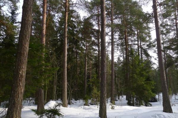 12-Tattariharjun-metsä_OMa.JPG